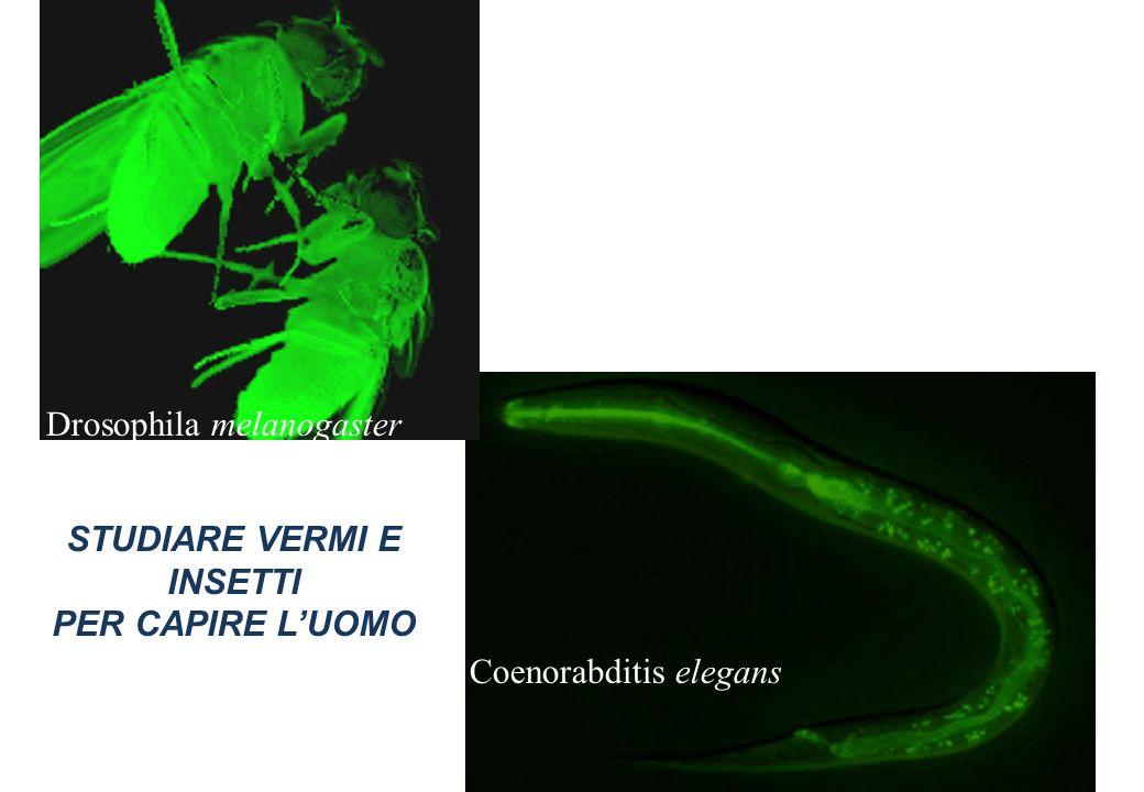 STUDIARE VERMI E INSETTI PER CAPIRE LUOMO Drosophila melanogaster Coenorabditis elegans