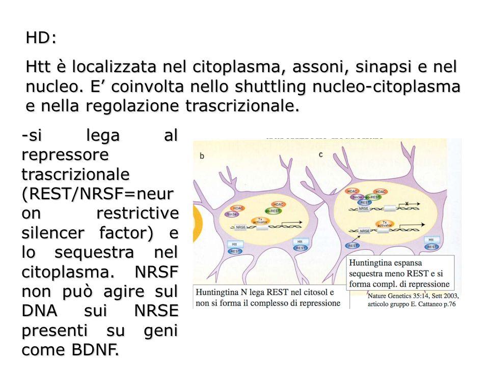 HD: Htt è localizzata nel citoplasma, assoni, sinapsi e nel nucleo. E coinvolta nello shuttling nucleo-citoplasma e nella regolazione trascrizionale.