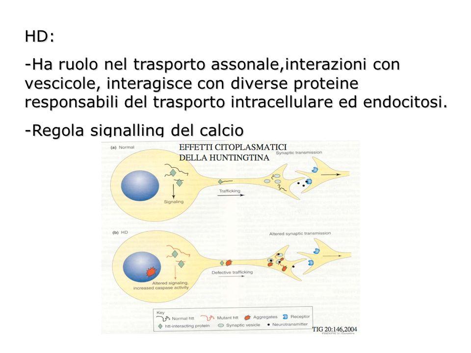 HD: -Ha ruolo nel trasporto assonale,interazioni con vescicole, interagisce con diverse proteine responsabili del trasporto intracellulare ed endocito