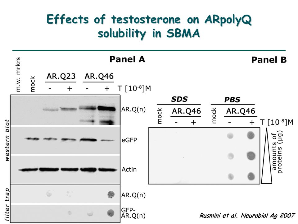 Effects of testosterone on ARpolyQ solubility in SBMA Rusmini et al. Neurobiol Ag 2007