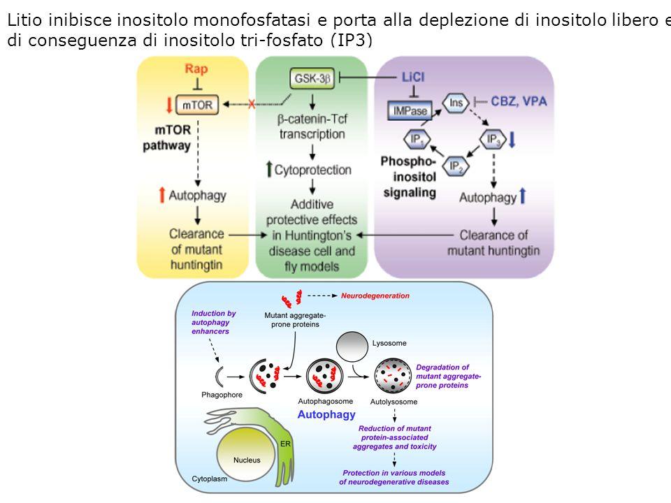 Litio inibisce inositolo monofosfatasi e porta alla deplezione di inositolo libero e di conseguenza di inositolo tri-fosfato (IP3)