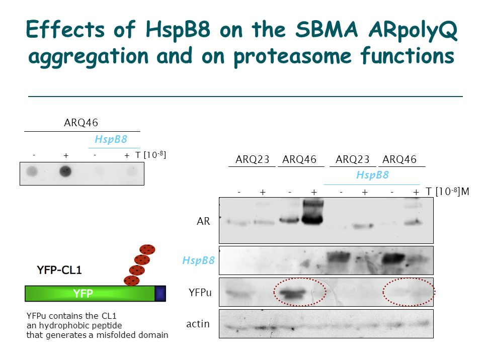 Effects of HspB8 on the SBMA ARpolyQ aggregation and on proteasome functions AR actin HspB8 YFPu ARQ23ARQ46ARQ23ARQ46 HspB8 - + - + - + - + T [10 -8 ]