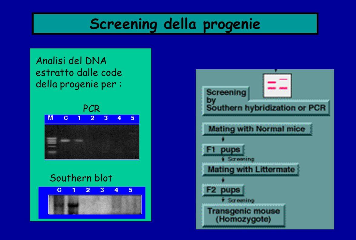 Screening della progenie Analisi del DNA estratto dalle code della progenie per : Southern blot PCR
