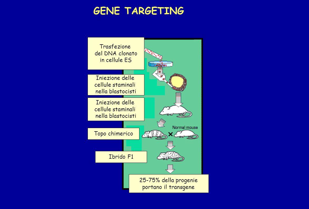 GENE TARGETING Trasfezione del DNA clonato in cellule ES Iniezione delle cellule staminali nella blastocisti Iniezione delle cellule staminali nella b