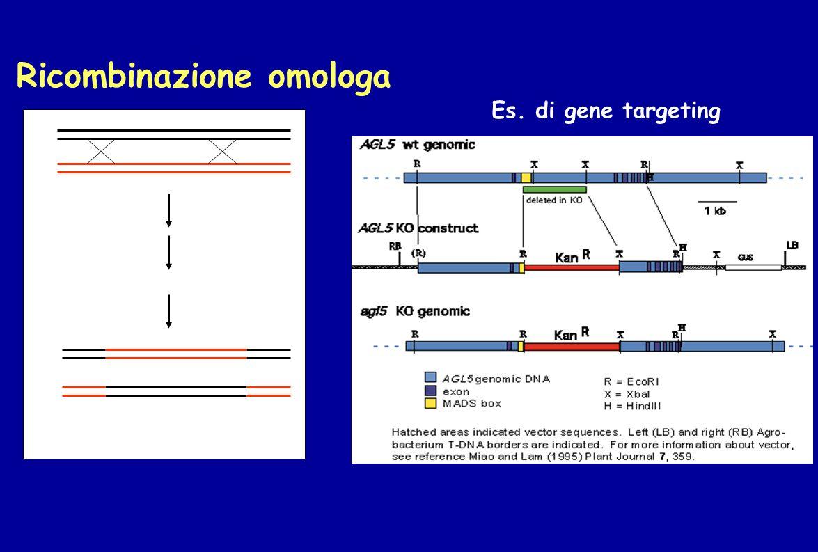 Ricombinazione omologa Es. di gene targeting