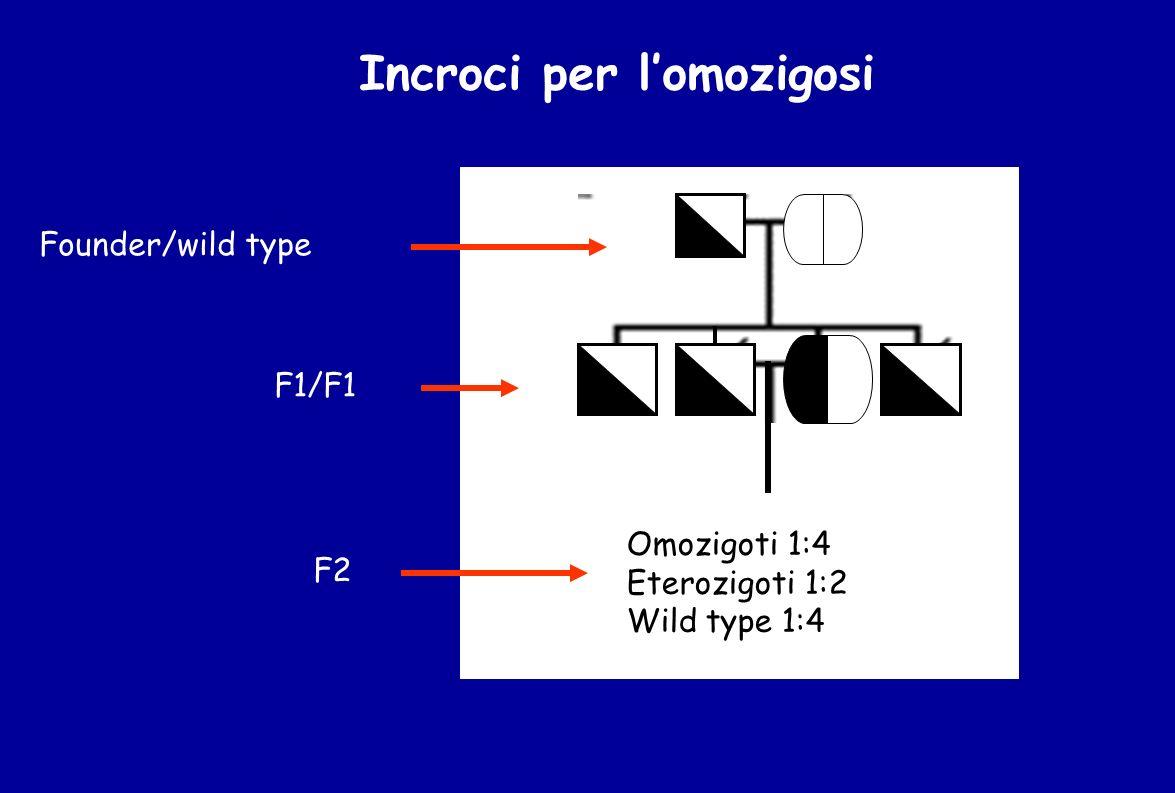 Incroci per lomozigosi F2 Omozigoti 1:4 Eterozigoti 1:2 Wild type 1:4 Founder/wild type F1/F1