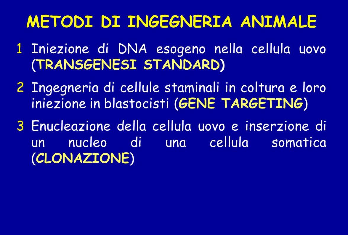 METODI DI INGEGNERIA ANIMALE 1Iniezione di DNA esogeno nella cellula uovo (TRANSGENESI STANDARD) 2Ingegneria di cellule staminali in coltura e loro in