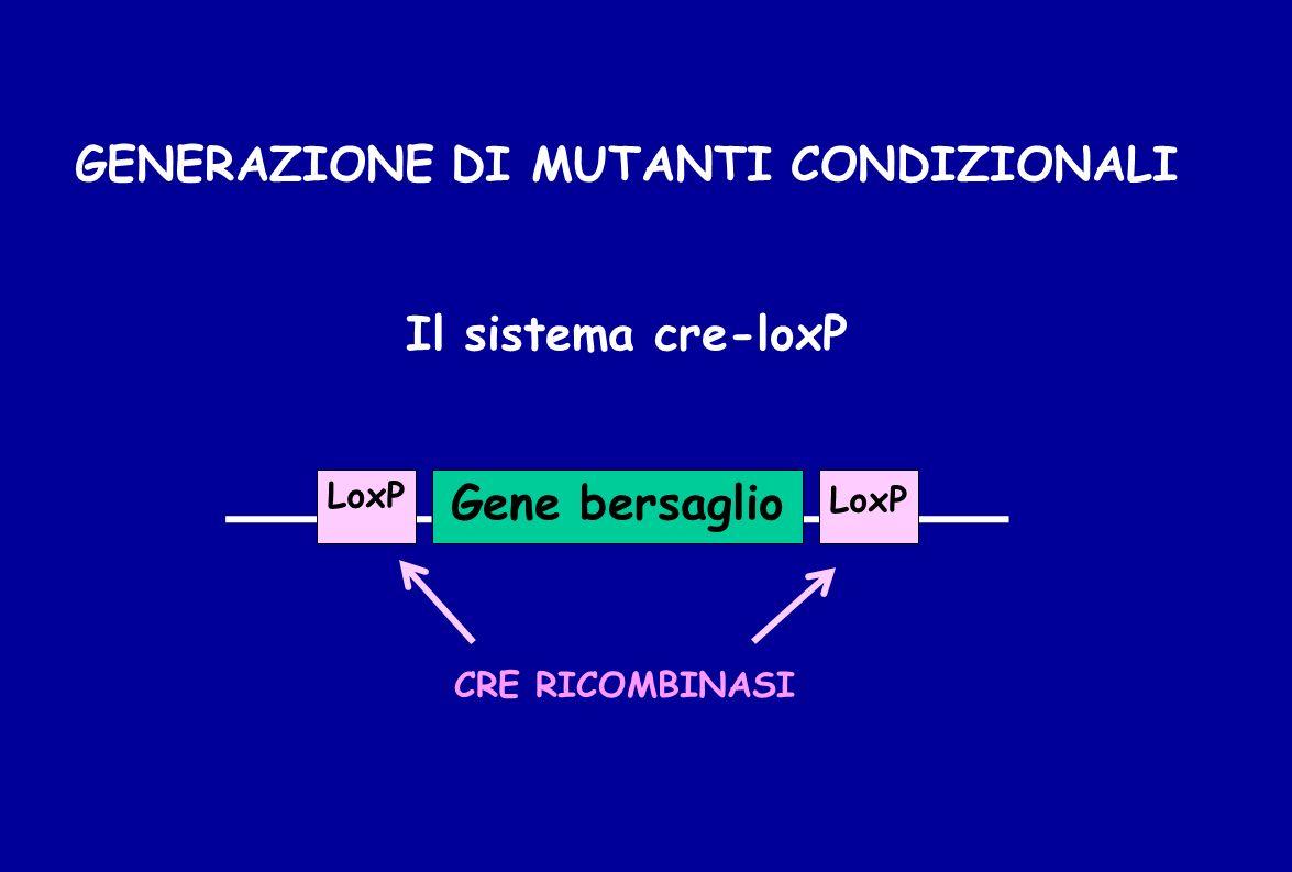 GENERAZIONE DI MUTANTI CONDIZIONALI Il sistema cre-loxP Gene bersaglio LoxP CRE RICOMBINASI