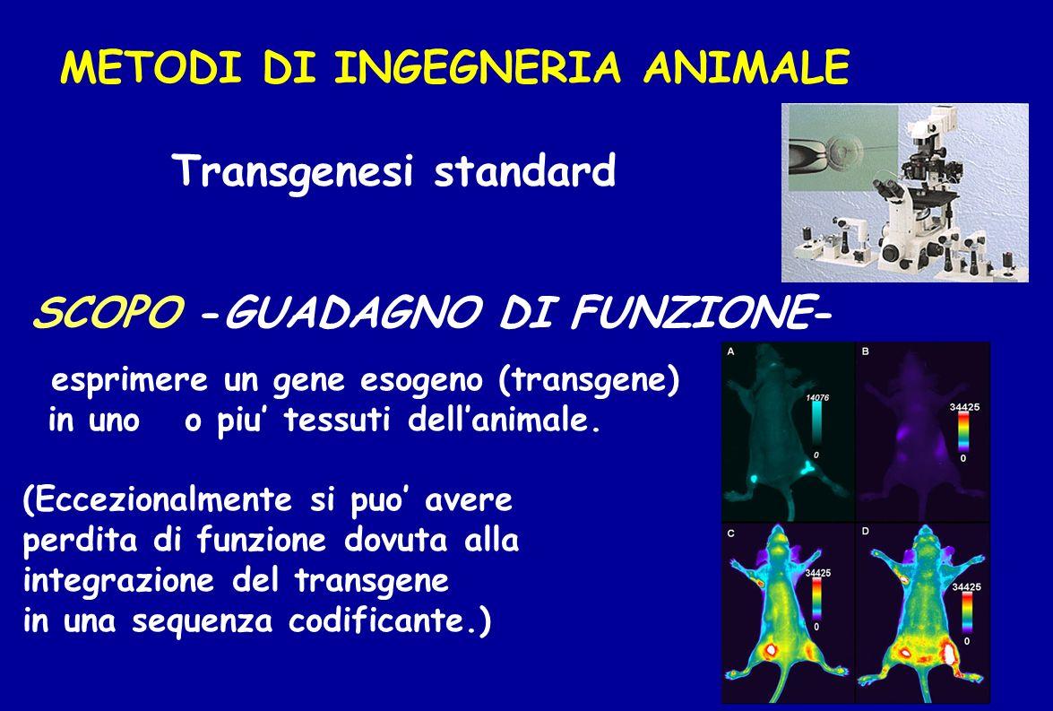 METODI DI INGEGNERIA ANIMALE Transgenesi standard SCOPO -GUADAGNO DI FUNZIONE- esprimere un gene esogeno (transgene) in uno o piu tessuti dellanimale.