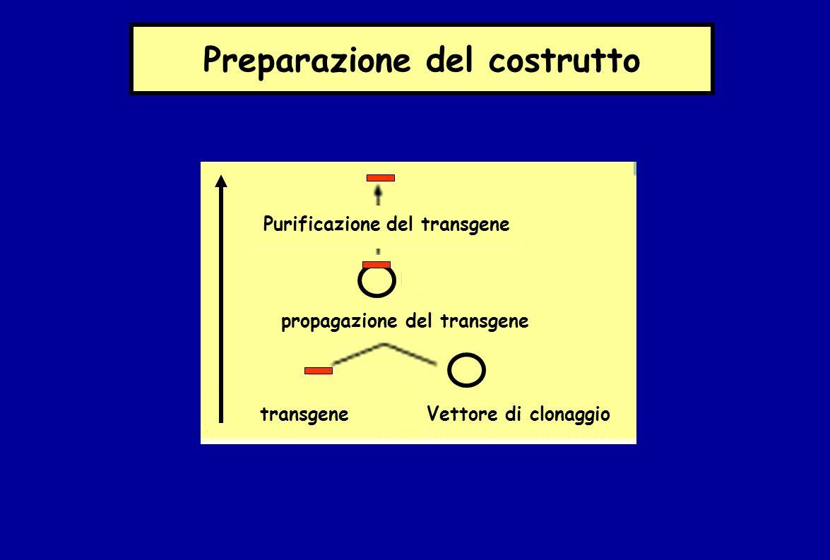Preparazione del costrutto Purificazione del transgene propagazione del transgene transgeneVettore di clonaggio