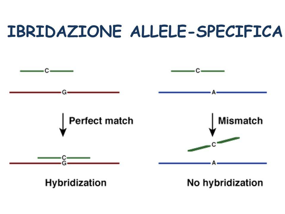 IBRIDAZIONE ALLELE-SPECIFICA