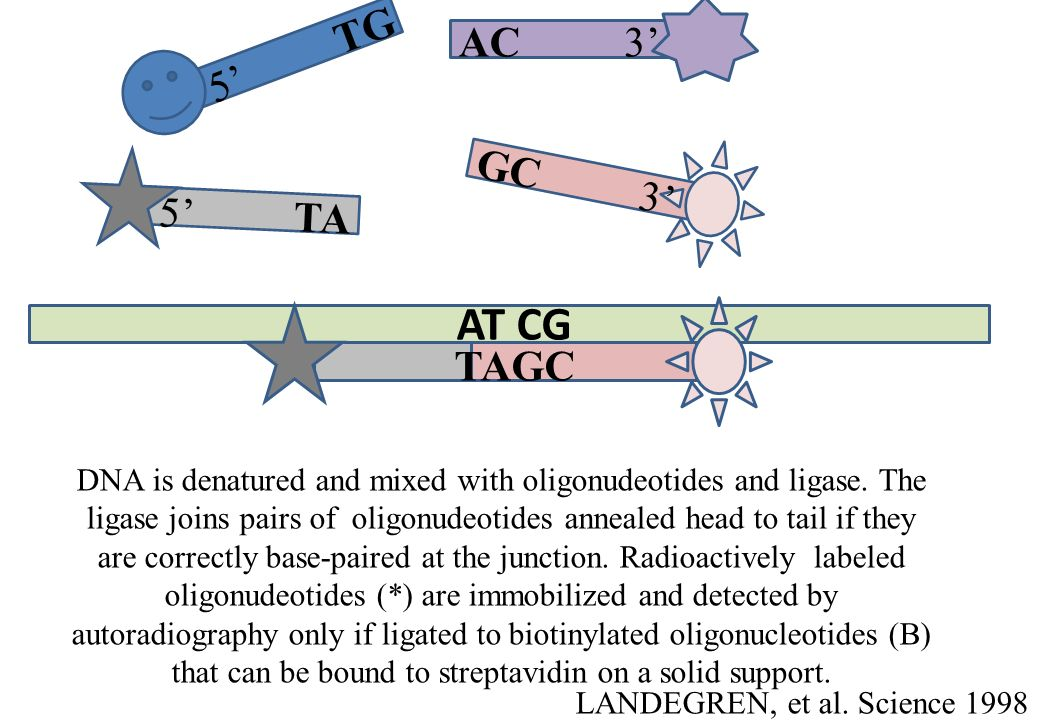 AT CG TAGC TA 5 GC3 TG 5 AC3 DNA is denatured and mixed with oligonudeotides and ligase. The ligase joins pairs of oligonudeotides annealed head to ta