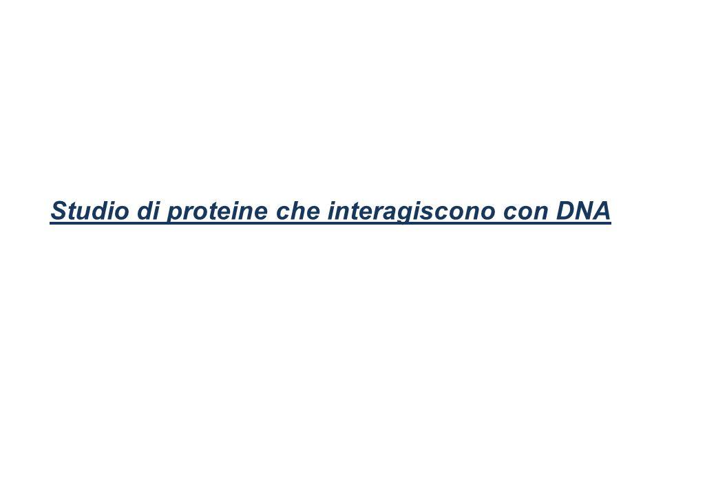 Studio di proteine che interagiscono con DNA