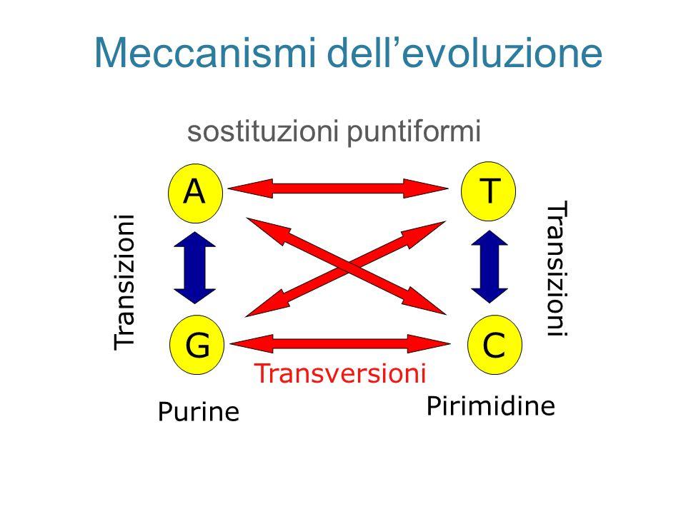 Meccanismi dellevoluzione sostituzioni puntiformi A G T C Purine Pirimidine Transizioni Transversioni