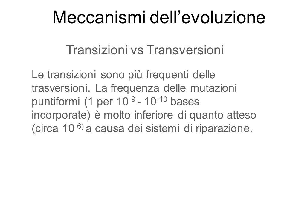 Transizioni vs Transversioni Le transizioni sono più frequenti delle trasversioni. La frequenza delle mutazioni puntiformi (1 per 10 -9 - 10 -10 bases