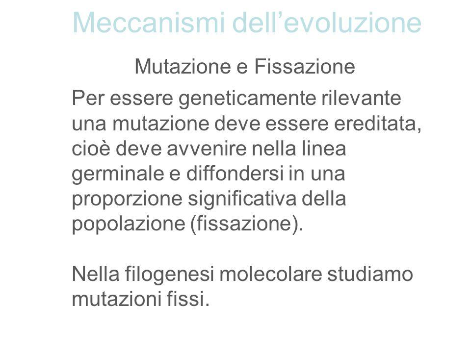 Mutazione e Fissazione Per essere geneticamente rilevante una mutazione deve essere ereditata, cioè deve avvenire nella linea germinale e diffondersi