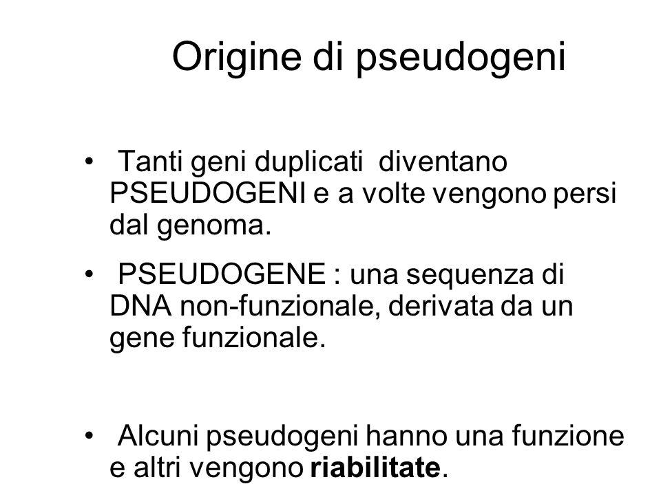Origine di pseudogeni Tanti geni duplicati diventano PSEUDOGENI e a volte vengono persi dal genoma. PSEUDOGENE : una sequenza di DNA non-funzionale, d