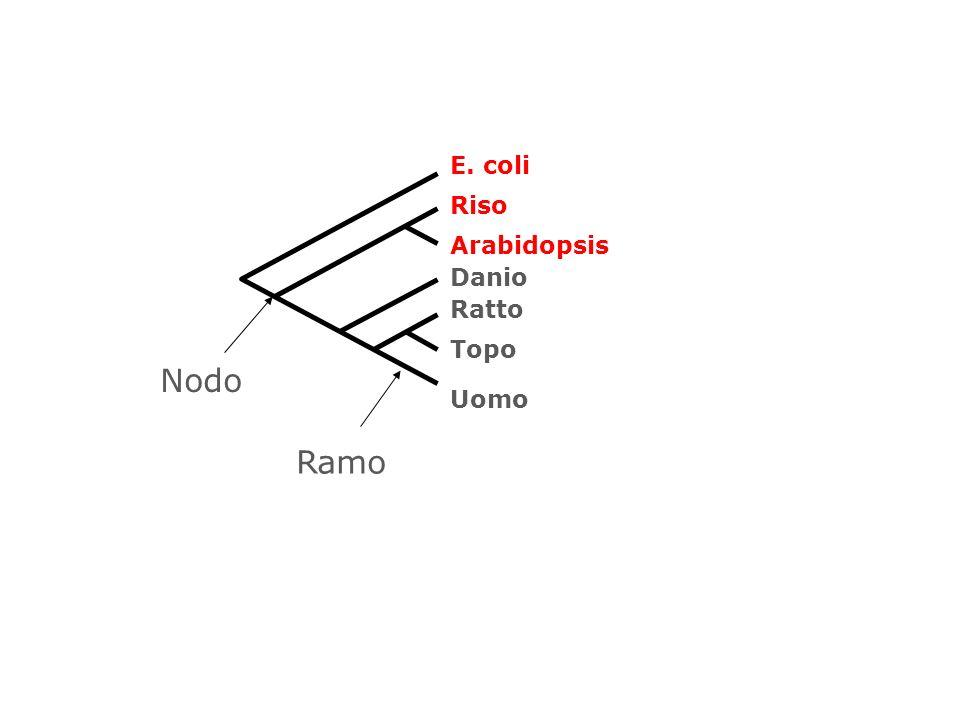 E. coli Arabidopsis Riso Danio Uomo Topo Ratto Ramo Nodo