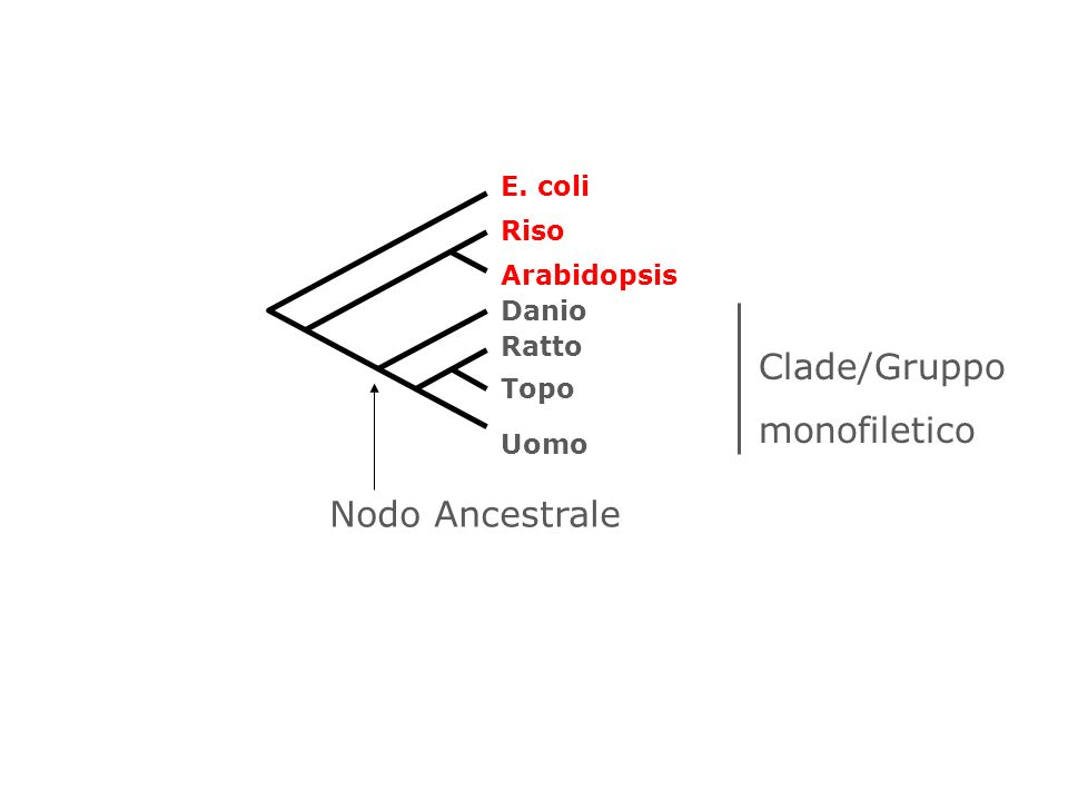 E. coli Arabidopsis Riso Danio Uomo Topo Ratto Nodo Ancestrale Clade/Gruppo monofiletico