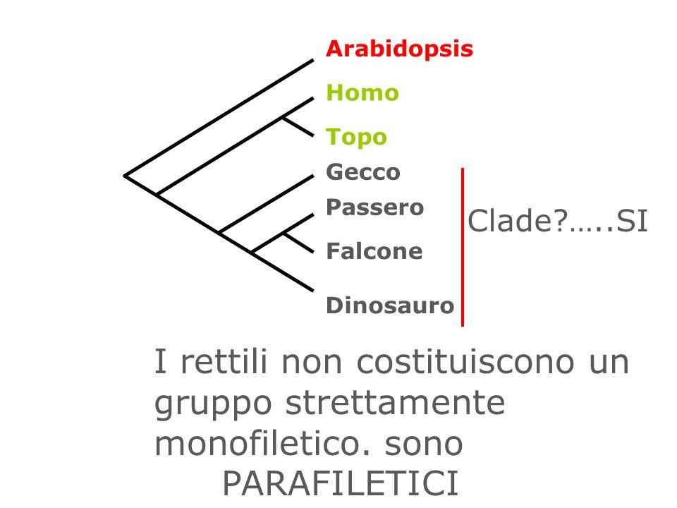 I rettili non costituiscono un gruppo strettamente monofiletico. sono PARAFILETICI Arabidopsis Topo Homo Gecco Dinosauro Falcone Passero Clade?…..SI