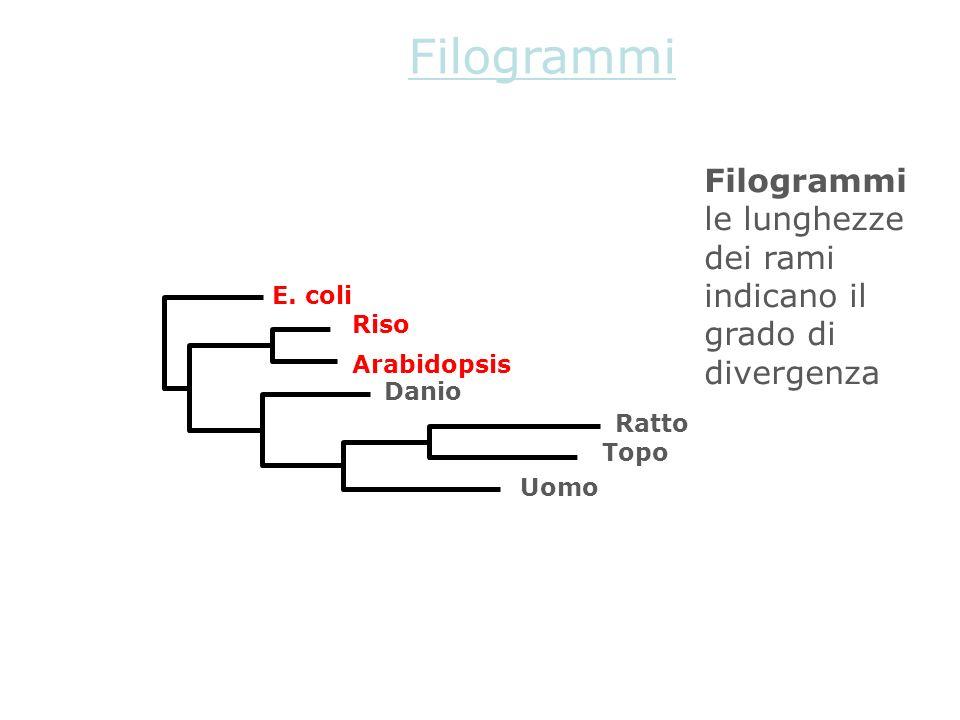 Filogrammi le lunghezze dei rami indicano il grado di divergenza E. coli Arabidopsis Riso Danio Uomo Topo Ratto Filogrammi