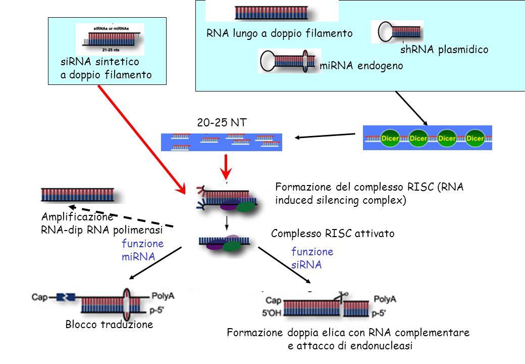 siRNA sintetico a doppio filamento shRNA plasmidico RNA lungo a doppio filamento miRNA endogeno 20-25 NT funzione miRNA Formazione del complesso RISC