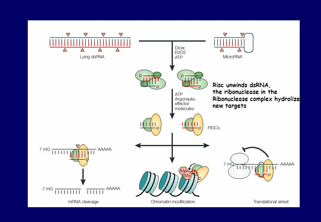 Risc unwinds dsRNA, the ribonuclease in the Ribonuclease complex hydrolizes new targets