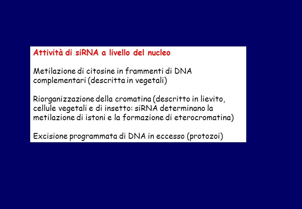 Attività di siRNA a livello del nucleo Metilazione di citosine in frammenti di DNA complementari (descritta in vegetali) Riorganizzazione della cromatina (descritto in lievito, cellule vegetali e di insetto: siRNA determinano la metilazione di istoni e la formazione di eterocromatina) Excisione programmata di DNA in eccesso (protozoi)