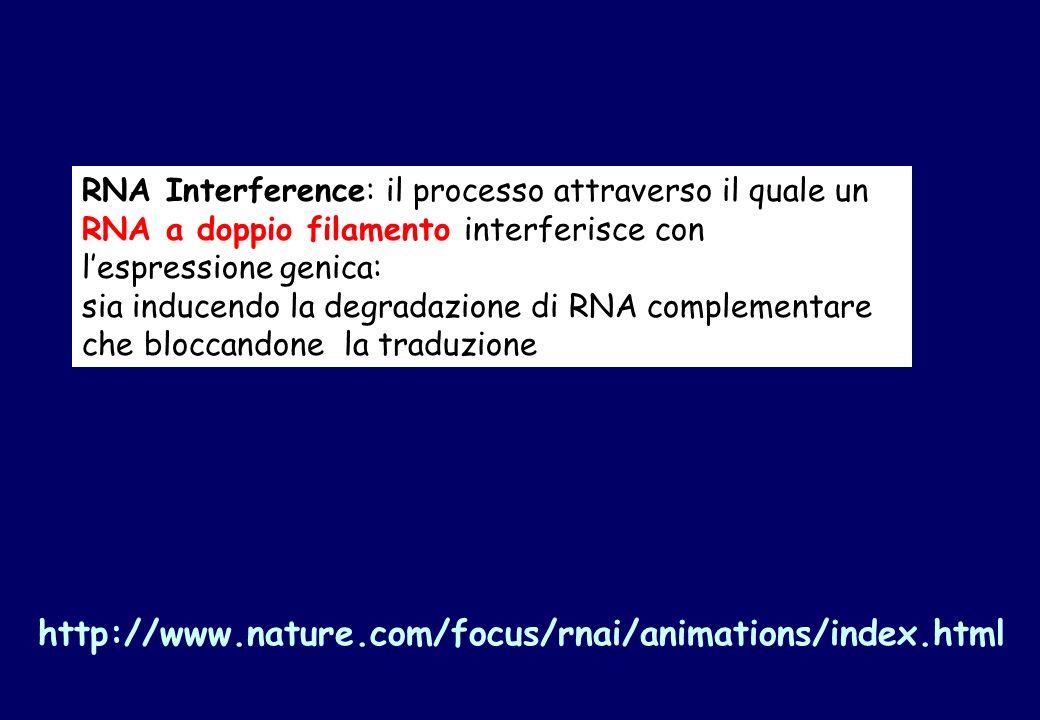 RNA Interference: il processo attraverso il quale un RNA a doppio filamento interferisce con lespressione genica: sia inducendo la degradazione di RNA