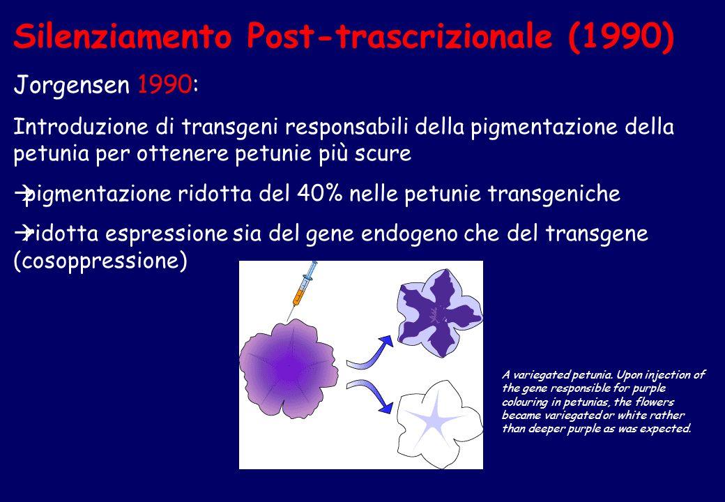 Silenziamento Post-trascrizionale (1990) Jorgensen 1990: Introduzione di transgeni responsabili della pigmentazione della petunia per ottenere petunie più scure pigmentazione ridotta del 40% nelle petunie transgeniche ridotta espressione sia del gene endogeno che del transgene (cosoppressione) A variegated petunia.