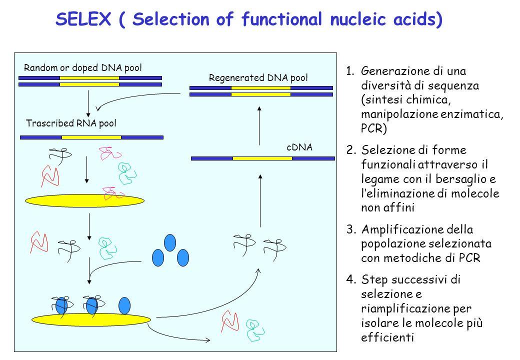 SELEX ( Selection of functional nucleic acids) Random or doped DNA pool Trascribed RNA pool cDNARegenerated DNA pool 1.Generazione di una diversità di