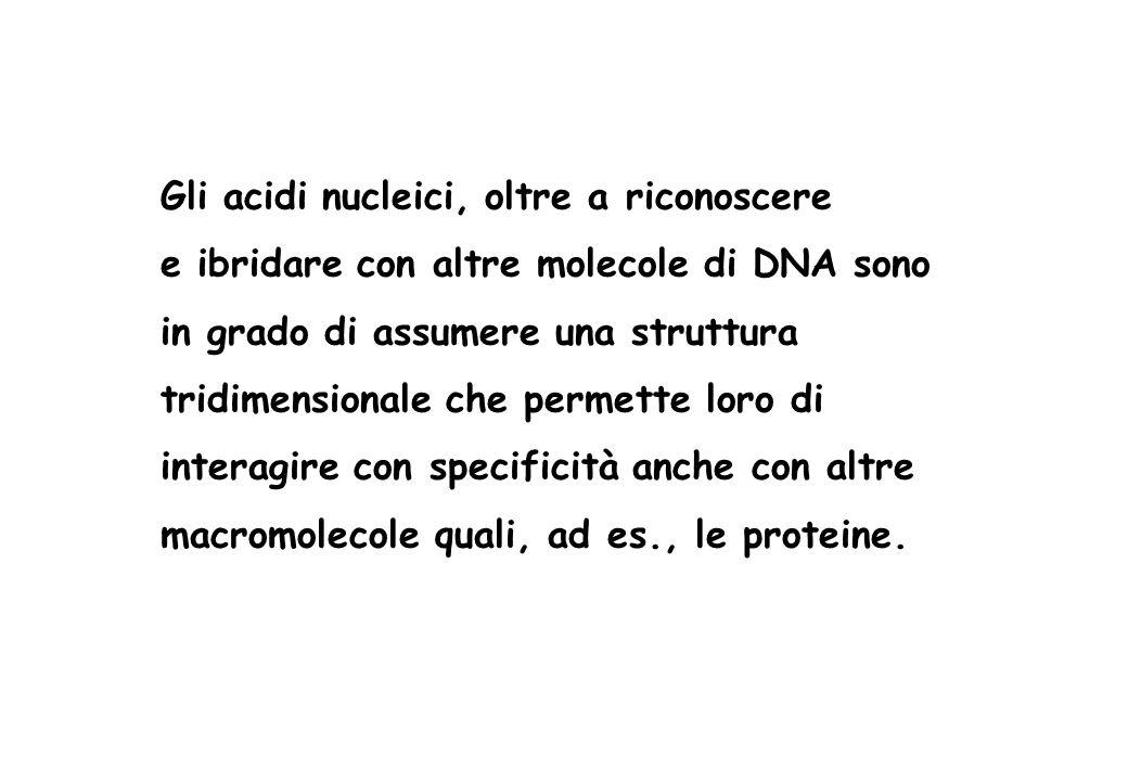 Gli acidi nucleici, oltre a riconoscere e ibridare con altre molecole di DNA sono in grado di assumere una struttura tridimensionale che permette loro