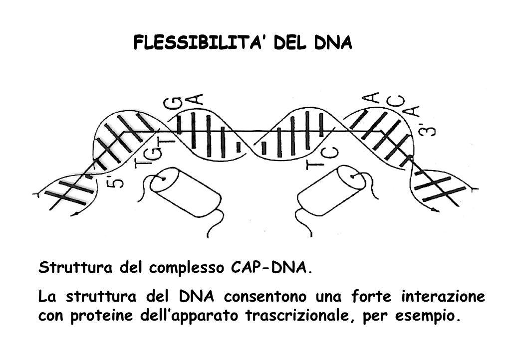 FLESSIBILITA DEL DNA Struttura del complesso CAP-DNA. La struttura del DNA consentono una forte interazione con proteine dellapparato trascrizionale,