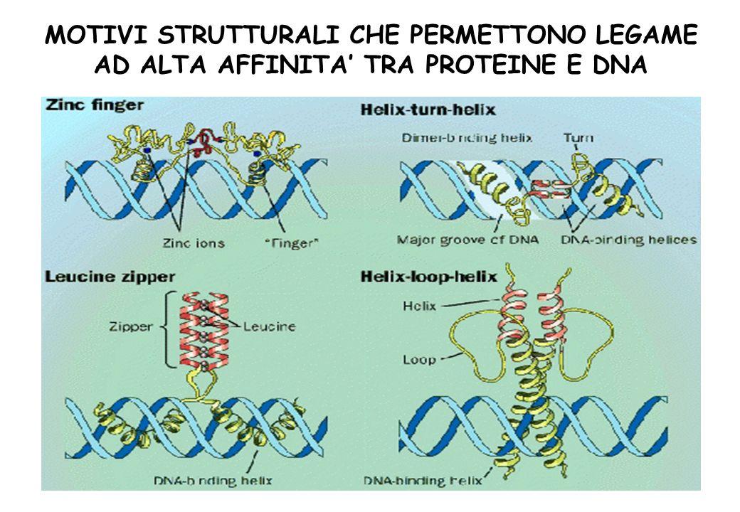 MOTIVI STRUTTURALI CHE PERMETTONO LEGAME AD ALTA AFFINITA TRA PROTEINE E DNA