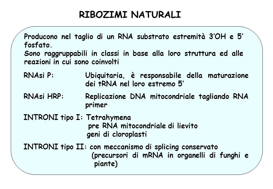 RIBOZIMI NATURALI Producono nel taglio di un RNA substrato estremità 3OH e 5 fosfato. Sono raggruppabili in classi in base alla loro struttura ed alle