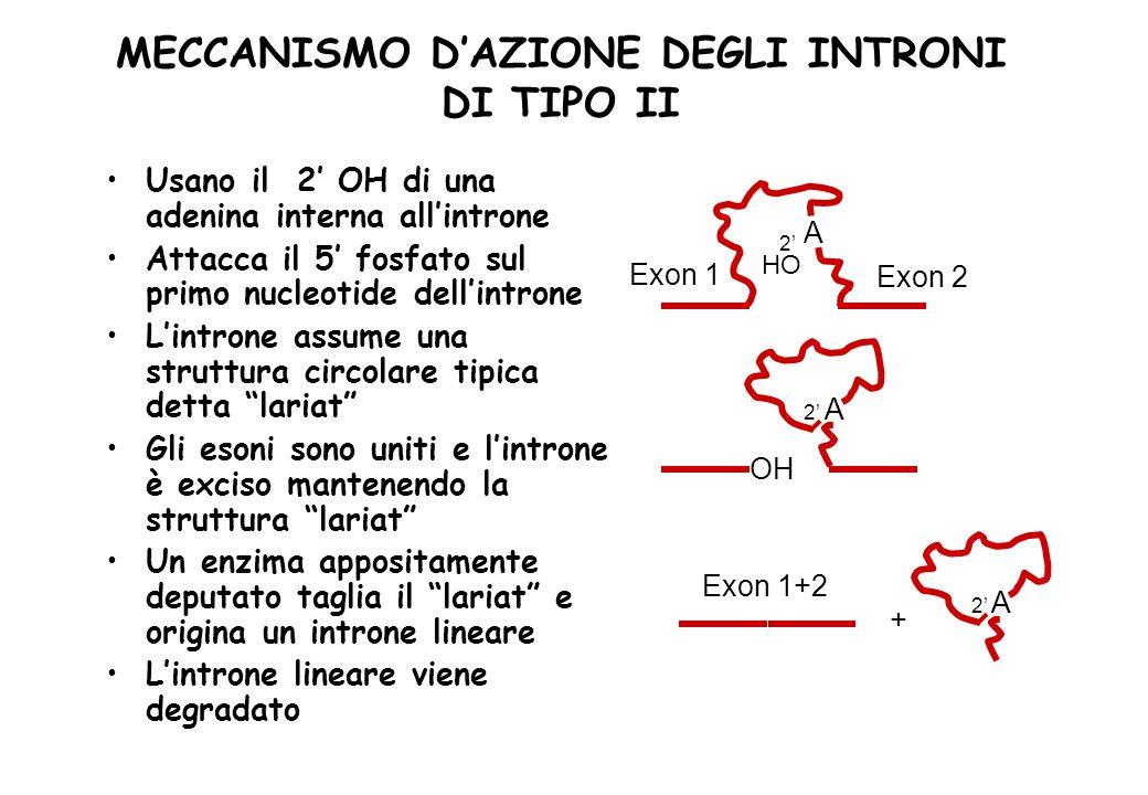 MECCANISMO DAZIONE DEGLI INTRONI DI TIPO II Usano il 2 OH di una adenina interna allintrone Attacca il 5 fosfato sul primo nucleotide dellintrone Lint