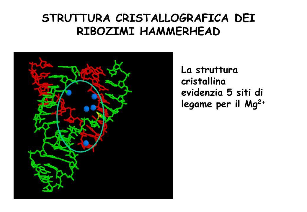STRUTTURA CRISTALLOGRAFICA DEI RIBOZIMI HAMMERHEAD La struttura cristallina evidenzia 5 siti di legame per il Mg 2+