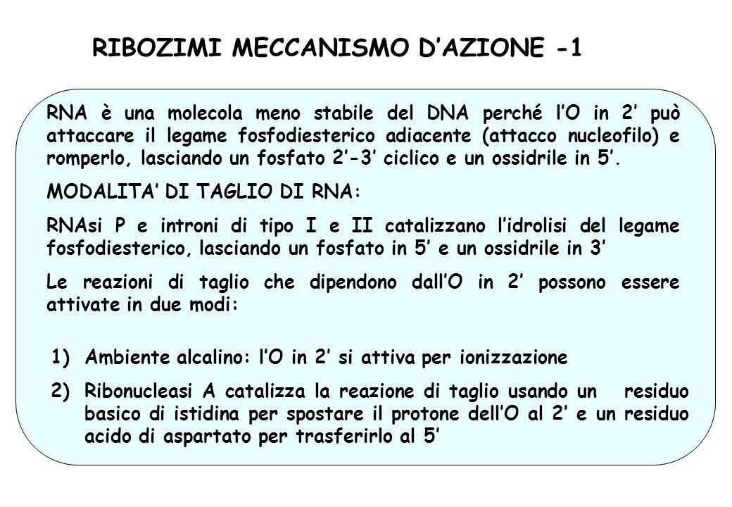 RIBOZIMI MECCANISMO DAZIONE -1 RNA è una molecola meno stabile del DNA perché lO in 2 può attaccare il legame fosfodiesterico adiacente (attacco nucle