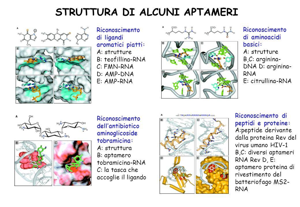 STRUTTURA DI ALCUNI APTAMERI Riconoscimento di ligandi aromatici piatti: A: strutture B: teofillina-RNA C: FMN-RNA D: AMP-DNA E: AMP-RNA Riconosciment