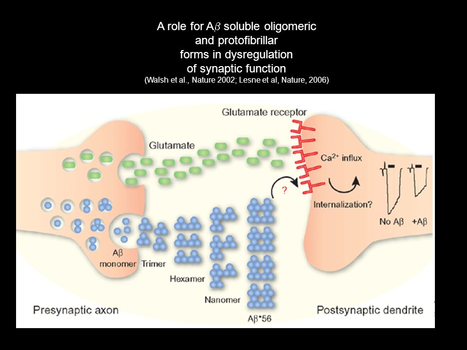 A role for A soluble oligomeric and protofibrillar forms in dysregulation of synaptic function (Walsh et al., Nature 2002; Lesne et al, Nature, 2006)