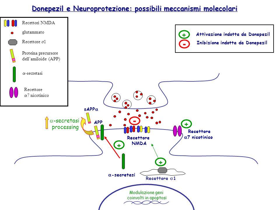 Recettore 1 APP sAPP -secretasi processing Recettore NMDA -secretasi + - + Recettore 7 nicotinico + Modulazione geni coinvolti in apoptosi Donepezil e