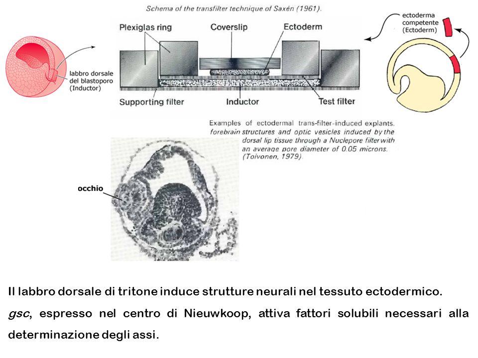 Il labbro dorsale di tritone induce strutture neurali nel tessuto ectodermico. gsc, espresso nel centro di Nieuwkoop, attiva fattori solubili necessar