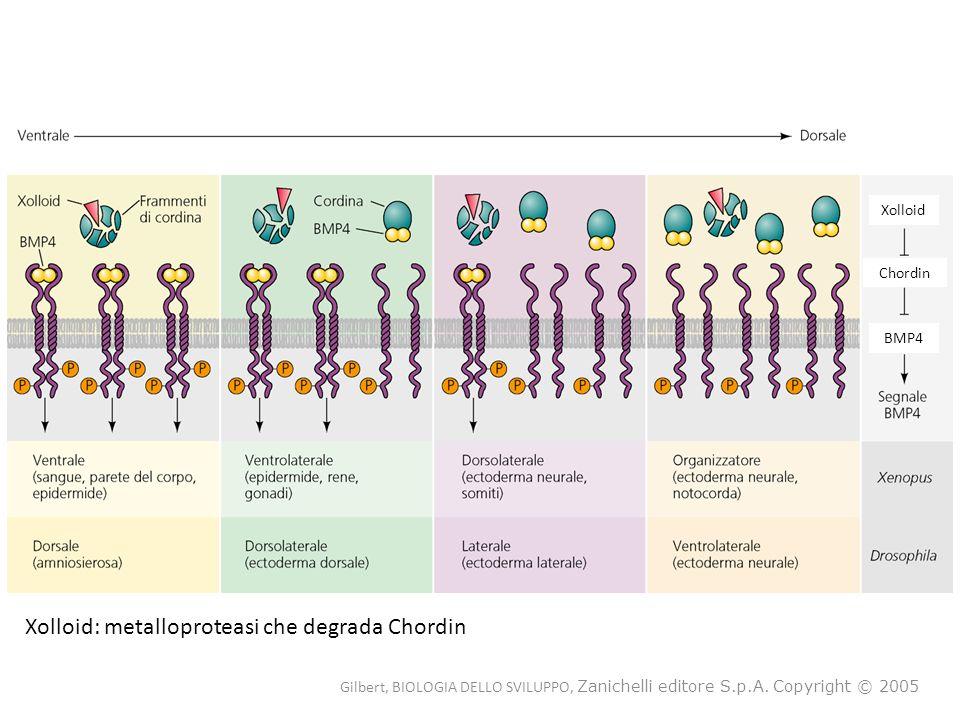 Xolloid Chordin BMP4 Xolloid: metalloproteasi che degrada Chordin