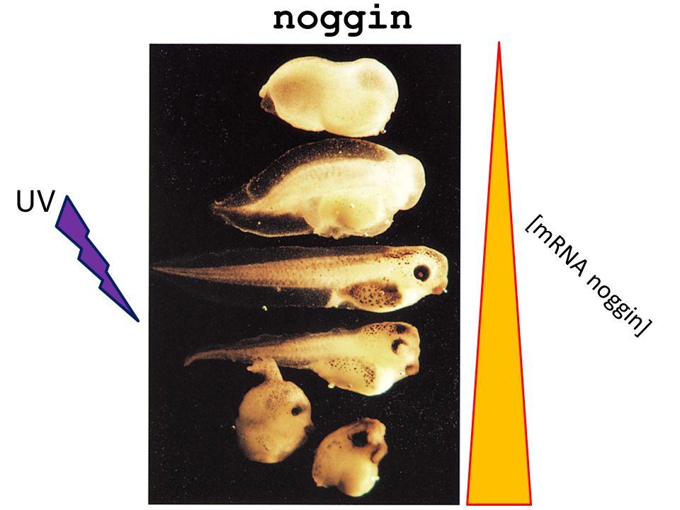 Gilbert, BIOLOGIA DELLO SVILUPPO, 2005 Noggin induce lectoderma dorsale a divenire tessuto neurale ed è in grado di conferire destino dorsale a cellule mesodermiche che altrimenti andrebbero incontro a destino ventrale.