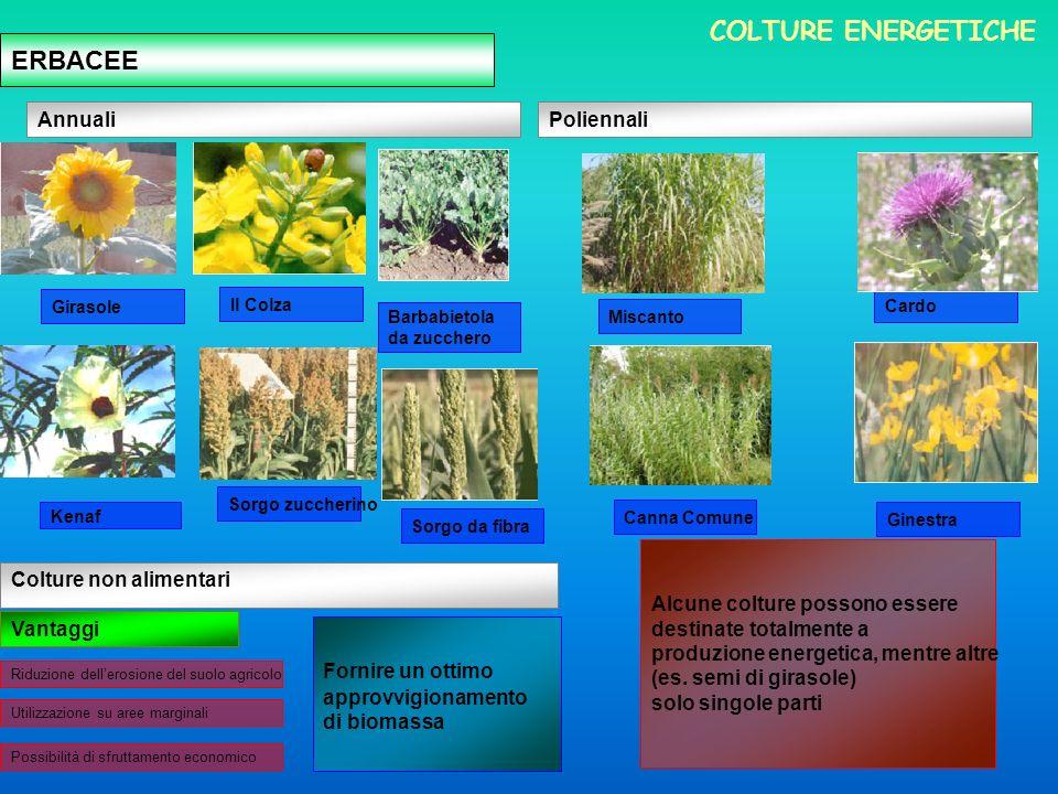 ERBACEE Annuali Colture non alimentari Poliennali Vantaggi Fornire un ottimo approvvigionamento di biomassa Alcune colture possono essere destinate totalmente a produzione energetica, mentre altre (es.
