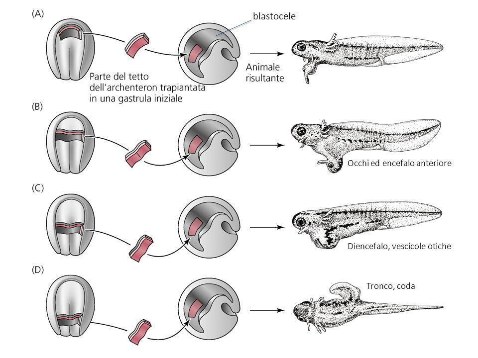 blastocele Occhi ed encefalo anteriore Diencefalo, vescicole otiche Tronco, coda