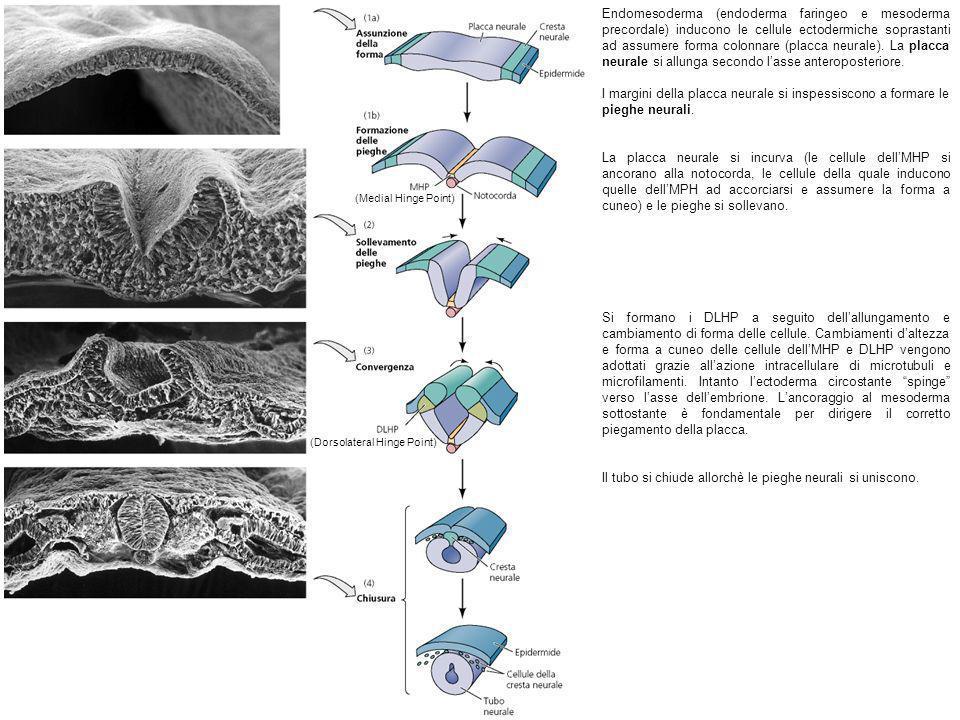 Endomesoderma (endoderma faringeo e mesoderma precordale) inducono le cellule ectodermiche soprastanti ad assumere forma colonnare (placca neurale). L