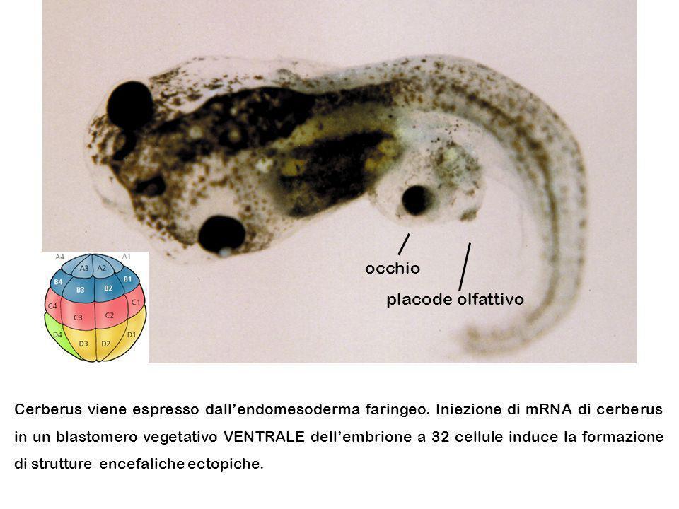 Cerberus viene espresso dallendomesoderma faringeo. Iniezione di mRNA di cerberus in un blastomero vegetativo VENTRALE dellembrione a 32 cellule induc
