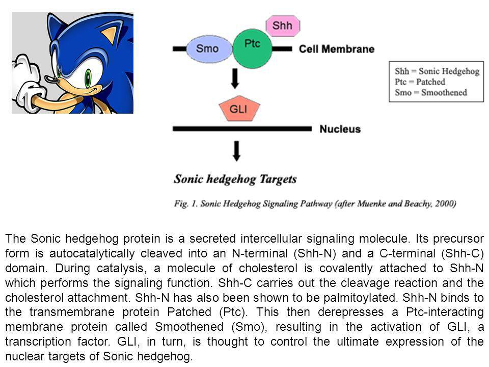 The Sonic hedgehog protein is a secreted intercellular signaling molecule. Its precursor form is autocatalytically cleaved into an N-terminal (Shh-N)