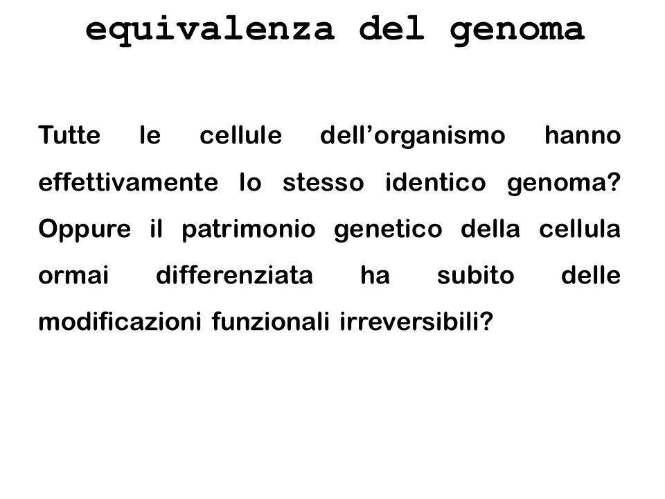 equivalenza del genoma Tutte le cellule dellorganismo hanno effettivamente lo stesso identico genoma? Oppure il patrimonio genetico della cellula orma